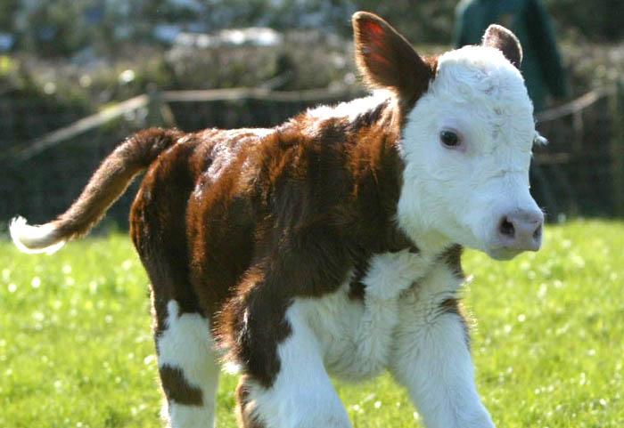 calf happy