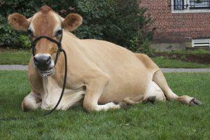karvės lytinis cikals ypatumai