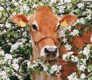 pieno kokybė5