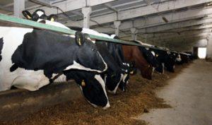 kokybiška karvių foto