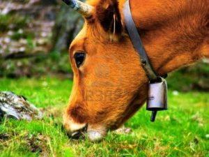 kaip išsaugoti sveikas karves