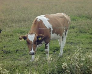 Cow_00
