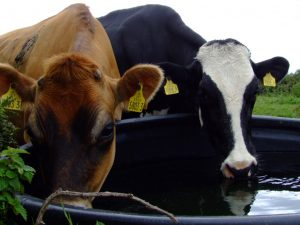 cows-drinking-water