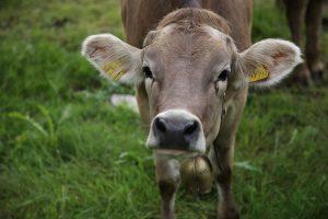 cow-3544489_960_720