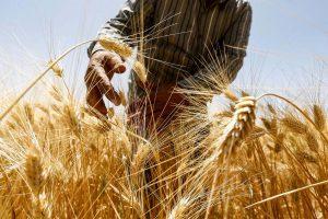syria harvest