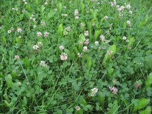 Baltasis-dobilas-_Trifolium