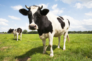 cow-at-pasture