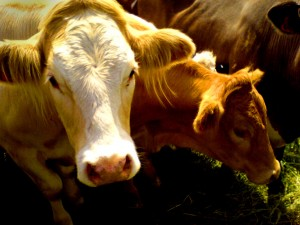 nice cows