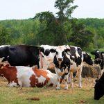 cattle-farm