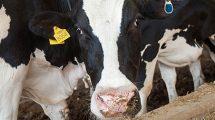 Zemes ukio naujienos, pieno ukis, zemes ukis, karviu seklinimas